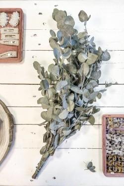 Eucalyptus Cinerea 65 cm